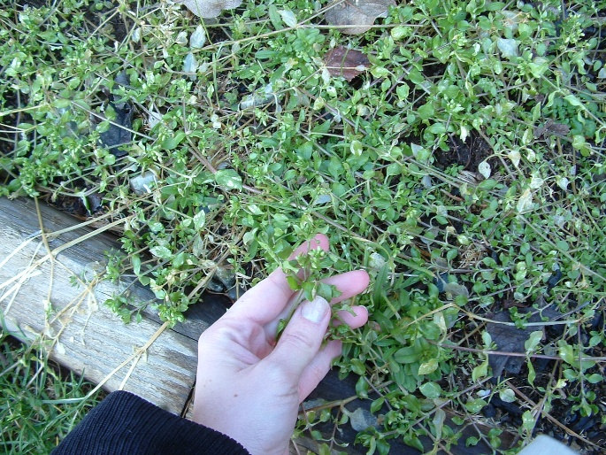A hand displays tiny chickweed leaves on slender stalks, overflowing a raised bed.