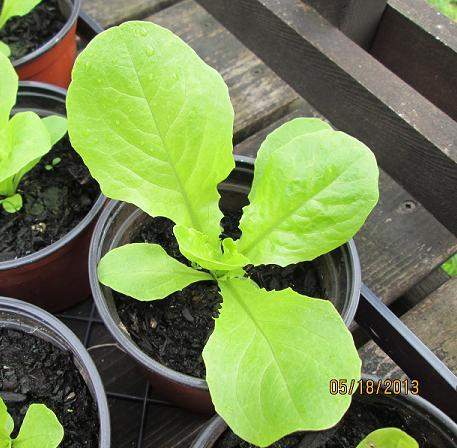 a young lettuce plant in a 3 inch pot, ready for the plant sale